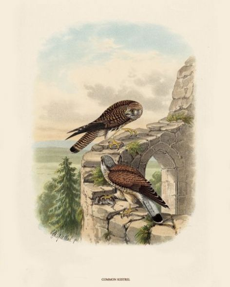 Fine Art Print of the Common Kestrel by O V Riesenthal (1876)